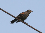 Red-winged Blackbird; immature male