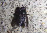 Wagneria Tachinid Fly species