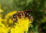 Halictus parallelus; Sweat Bee species; male