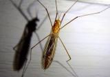 Nephrotoma ferruginea; Tiger Crane Fly species