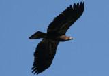 Bald Eagle; first year