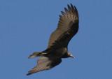 Turkey Vulture; immature