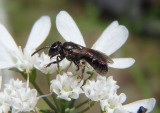 Lasioglossum Sweat Bee species