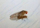 Leucophenga varia; Vinegar Fly species
