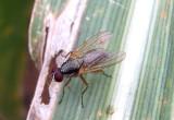 Pegomya Root-Maggot Fly species