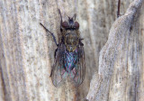 Pollenia Cluster Fly species