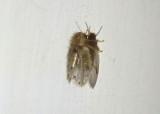 Clogmia Moth Fly species
