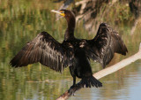 Double-crested Cormorant; basic