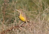 Eastern Meadowlark; basic