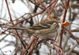 Harris's Sparrow; immature