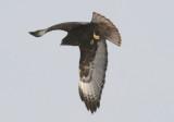 Red-tailed Hawk; dark morph