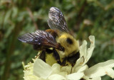 Bombus griseocollis; Brown-belted Bumble Bee