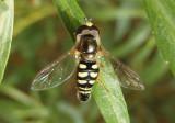 Eupeodes volucris; Bird Hover Fly