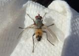 Microchaetina Tachinid Fly species