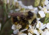 Bombus mixtus; Mixed Bumble Bee