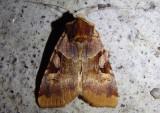 10641-11054 - Noctuidae; Noctuinae