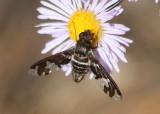Exoprosopa dorcadion; Bee Fly species