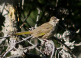 Green-tailed Towhee; juvenile