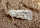 11055-11233 - Noctuidae; Heliothinae through Grotellini