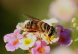 Palpada vinetorum; Syrphid Fly species