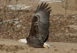 Bald Eagle; 4th year