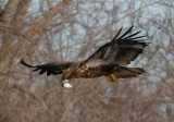 Bald Eagle; juvenile