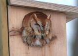 Eastern Screech-Owl; red morph