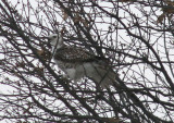 Krider's Red-tailed Hawk; juvenile