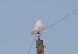 Snowy Owl; immature male