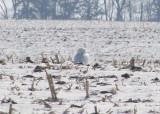 Snowy Owl; male