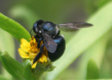 Xylocopa micans; Southern Carpenter Bee; female
