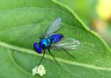 Condylostylus mundus; Longlegged Fly species; male