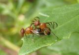 Rivellia inaequata; Signal Fly species