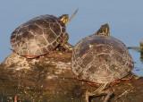 Northern Painted Turtles
