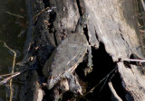 False Map Turtle
