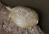 Spiny Softshell Turtle; male