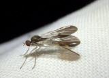 Rhamphomyia nasoni; Dance Fly species