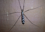 Tipula abdominalis; Giant Crane Fly