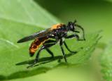 Laphria sericea/aktis complex; Robber Fly species