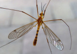 Nephrotoma ferruginea; Tiger Crane Fly species; male