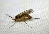 Leia Fungus Gnat species