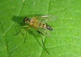 Rhagio hirtus; Snipe Fly species