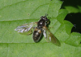 Pipiza Syrphid Fly species