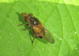 Rhingia nasica; Syrphid Fly species