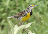 Eastern Meadowlark; breeding