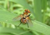 Gymnoclytia Tachinid Fly species