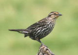 Red-winged Blackbird; female