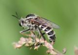 Ceraturgus cruciatus; Robber Fly species; male