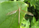 Tipula Large Crane Fly species