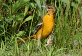 Baltimore Oriole; female